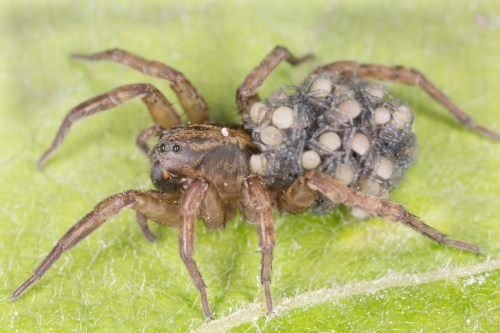 Female wolf spider carrying eggs