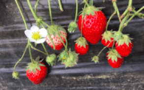 Iijima Farm strawberry picking