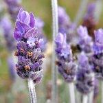 lavender sleepy time tea
