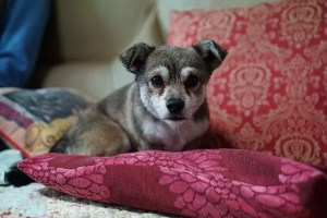 Puppy on a cushion