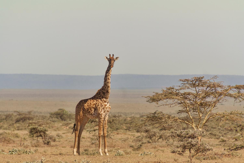 все картинки про жирафа чем выбрать понравившийся