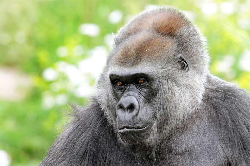 romina gorilla