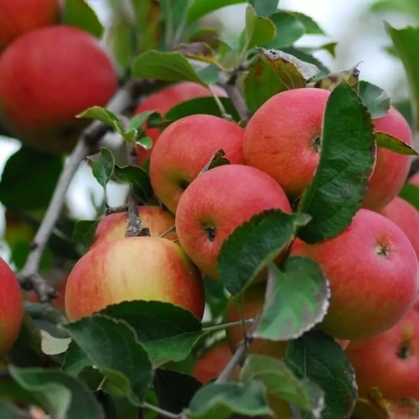 Fall in New Jersey-NJ Farms-Red Apples