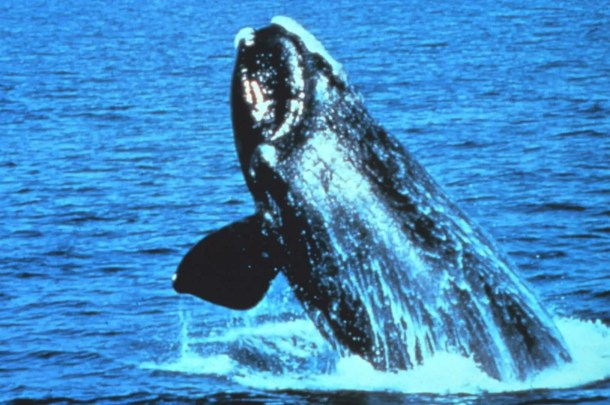 North Atlantic Right Whale Endangered Animals in New Jersey