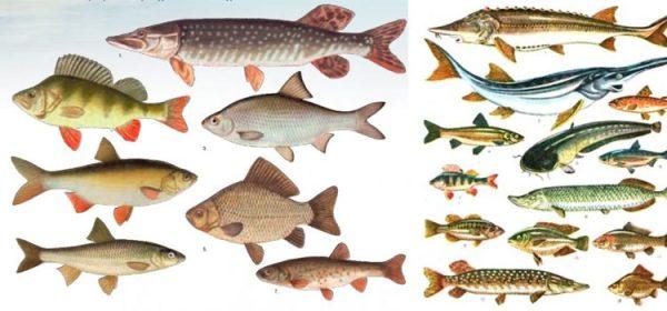 Какие виды рыб приносят пользу и вред организму