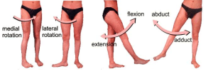 hip-joint-movements