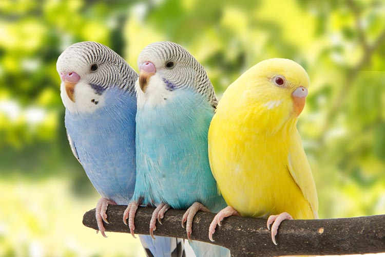 budgerigars information