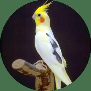 pied cockatiels