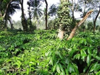 Coffee plantation in Ammathi, Coorg (pixabay.com)