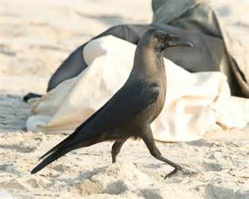 Crow takes a majestic walk on the beach