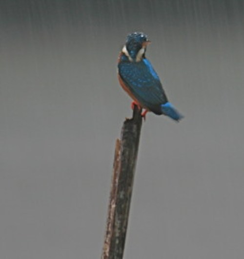 Wet Kingfisher (https://www.flickr.com/photos/davida3/2129439264/)