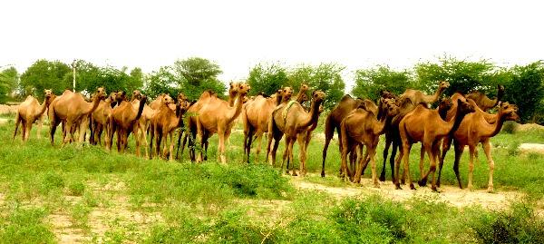 http://traveldiaryparnashree.blogspot.in/2012/10/bishnoi-community-ecologist.html