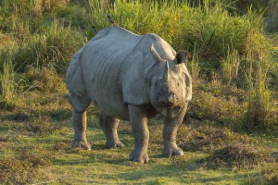 https://commons.wikimedia.org/wiki/File:Rhinoceros_unicornis,_Kaziranga_(2006).jpg