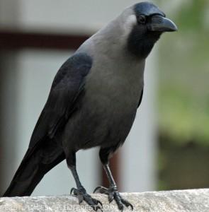 House_Crow_RWD2