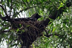 crow-391145_640