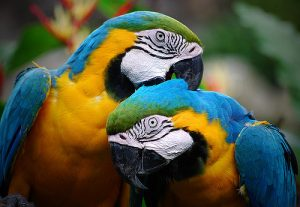 Colorful parrots as partners. Image credit - Riza Nugraha on Flickr.com