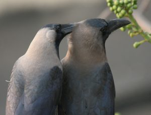 House crows as partners