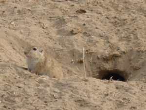 The Desert gerbil -fast food for the birds, Birds of Bikaner