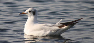 brown headed gull- wilds in Gujarat