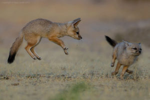 Indian fox pups- wild in Gujarat