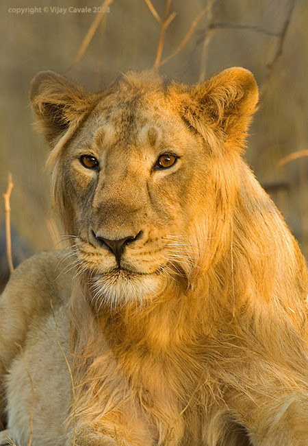 Lion safari at Gir Forest-tribes and wilds in Gujarat