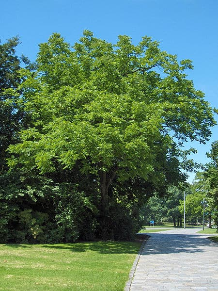 back-walnut-wikipedia-06302015