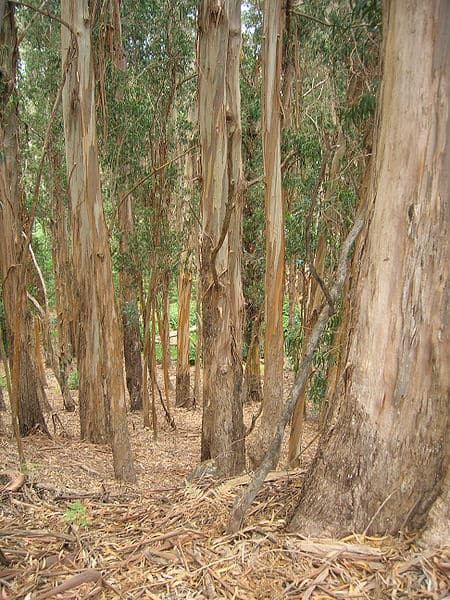 eucalyptus-globulus-wikipedia-06302015