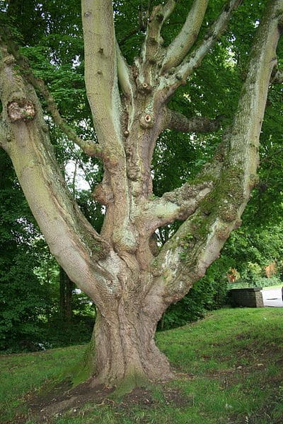 norway-maple-wikipedia-06302015