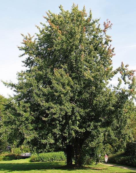 silver-maple-wikipedia-06302015