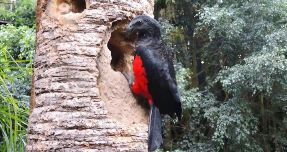 Caring For Dracula Parrot