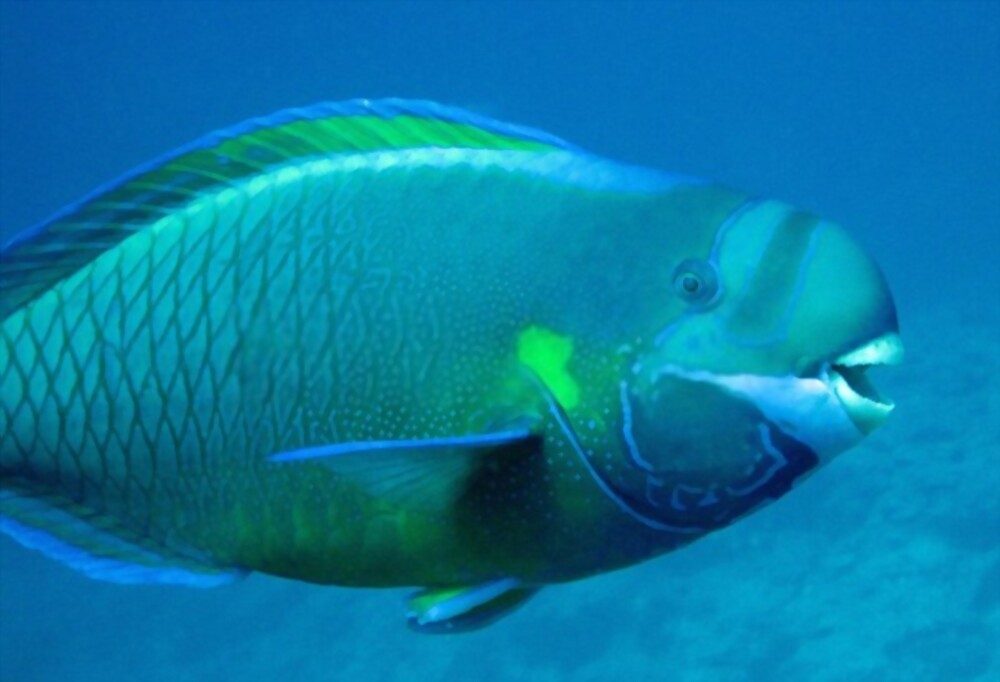 Parrotfish Information For the Owner