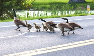 Geese crossing the road is typical in Lake Norman