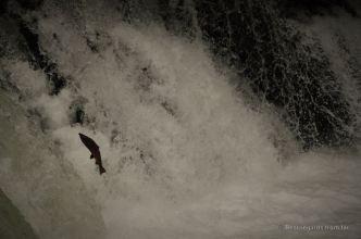 Wild salmon vs. waterfall