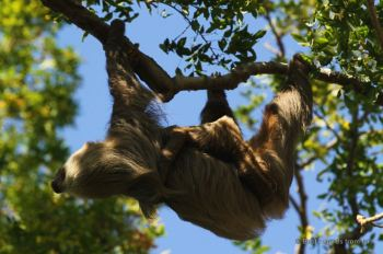 Sloth in its favourite position, Panama