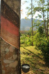 Rubber tree at Manora Garden, Phang Nga, Thailand