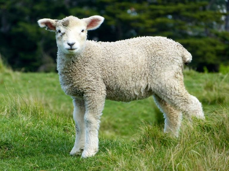 Lamb Recipe restreviewstar