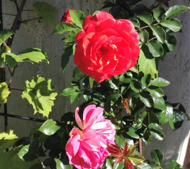 brothers-grimm-rose-4