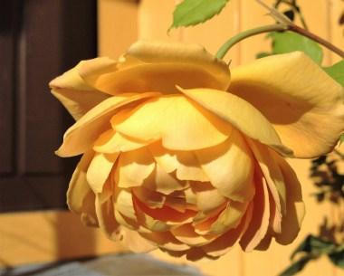 golden-celebration-rose-4