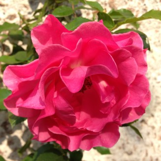 romanze-rose-2-2