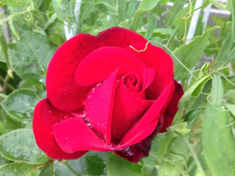santana-rose-2