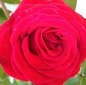 santana-rose-4