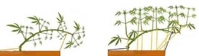 Tying Down Your Cannabis Plants