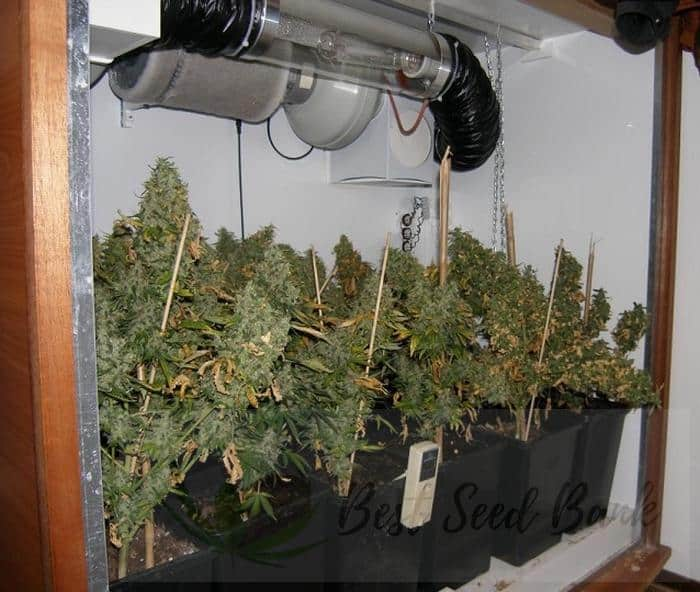Growing Weed Indoors The Easy Way Best Seed Bank