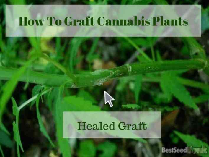 healed cannabis graft