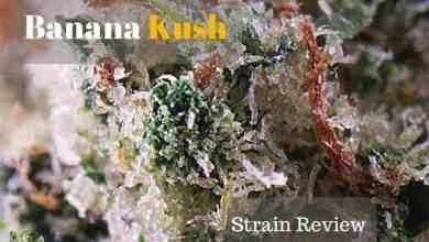 Photo of Banana Kush Strain Review