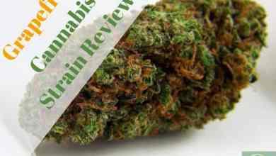 Photo of Grapefruit Cannabis Strain Review