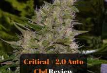 Photo of Critical + Auto CBD By Dinafem Strain Review