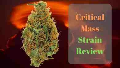 Photo of Critical Mass Strain Review