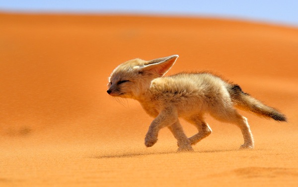 Fennec fox. Picture courtesy of Fransisco Mingorance:National Geographic Traveler Photo Contest
