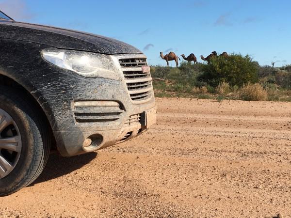 Haval H8 Camels